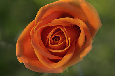 Orange Rose Close-up Art Print