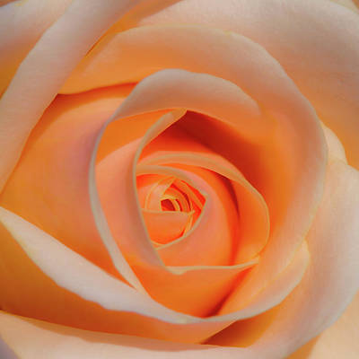 Photograph - Orange Rose by David Freuthal