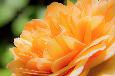 Photograph - Orange Rose by David Hare