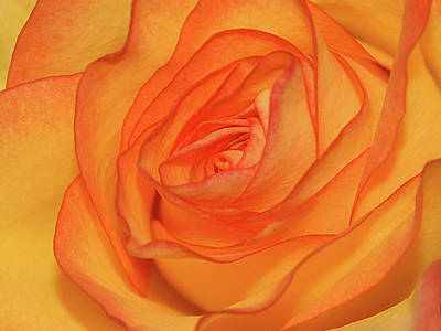 Orange Rose Art Print by Graham Taylor