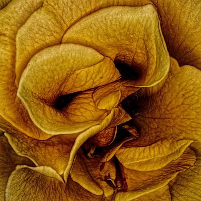 Photograph - Orange Rose by Pete Federico