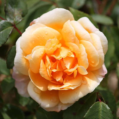Orange Rose Square Print by Carol Groenen