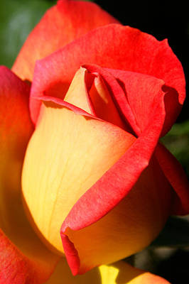 Orange Rosebud Art Print by Ralph A  Ledergerber-Photography