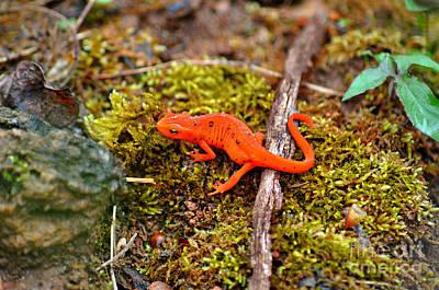 Photograph - Orange Salamander by Eric Liller