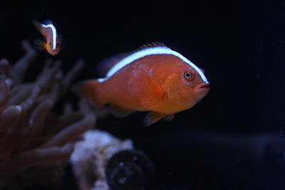 Clown Fish Photograph - Orange Skunk Clownfish by Silpa Saseendran