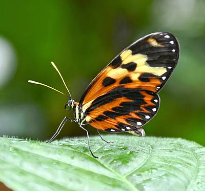 Photograph - Orange Spotted Butterfly by Amy McDaniel