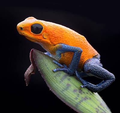 Frogs Photograph - Orange Strawberry Poison Dart Frog by Dirk Ercken