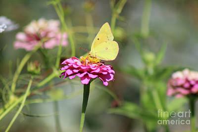 Photograph - Orange Sulphur Butterfly In Garden by Karen Adams
