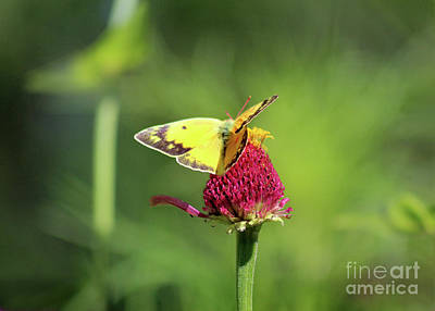 Photograph - Orange Sulphur Butterfly Landing by Karen Adams