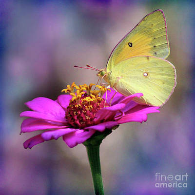 Photograph - Orange Sulphur Butterfly Macro Square by Karen Adams