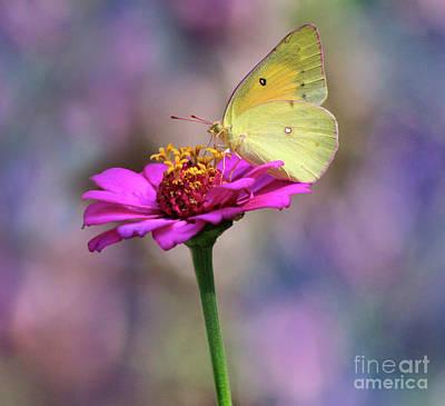 Orange Sulphur Butterfly Pastels Print by Karen Adams