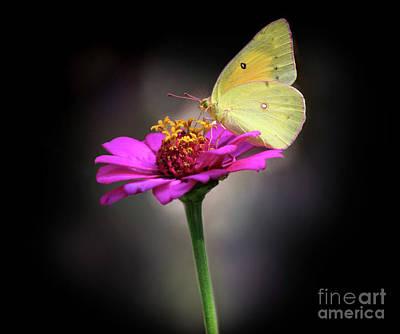Photograph - Orange Sulphur Butterfly Portrait by Karen Adams