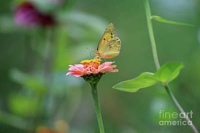 Photograph - Orange Sulphur Butterfly Stillness by Karen Adams