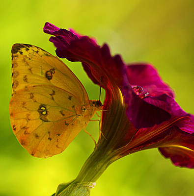 Photograph - Orange Sulphur On Flower by Bill Barber