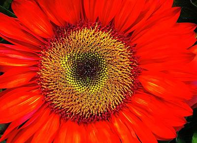 Photograph - Orange Sunflower by Bruce Bley