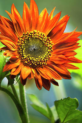 Sunflowers Royalty-Free and Rights-Managed Images - Orange Sunflower by Christina Rollo