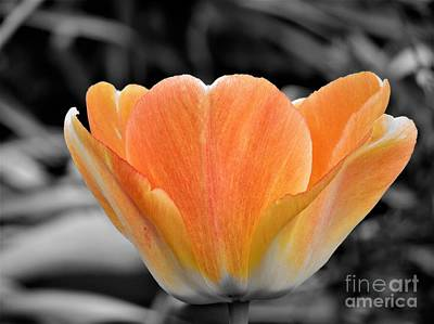 Photograph - Orange Tea Cup Tulip by Chad and Stacey Hall