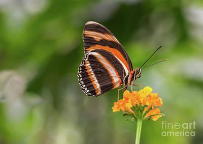 Photograph - Orange Tiger by Eva Lechner