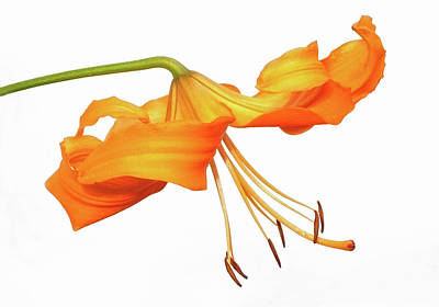 Photograph - Orange Tiger Lily by Jim Zablotny