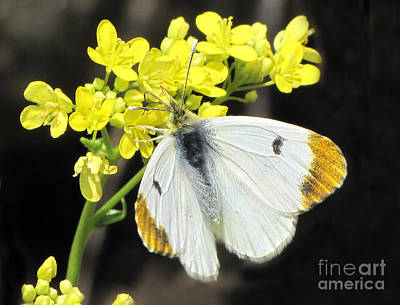 Art Print featuring the photograph Orange Tip Butterfly by Jacqi Elmslie