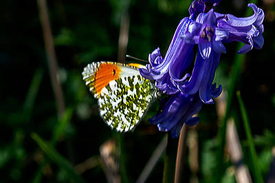 Photograph - Orange Tip by Keith Elliott