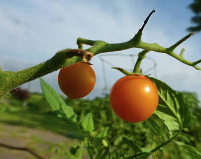 Photograph - Orange Tomatoes by Tina M Wenger