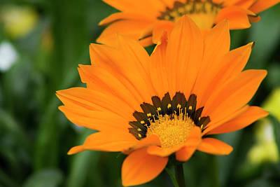 Orange Treasure Flower Original