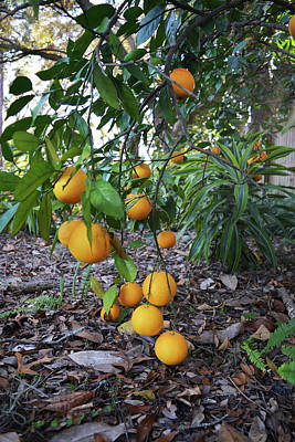Photograph - Orange Tree by Aimee L Maher ALM GALLERY