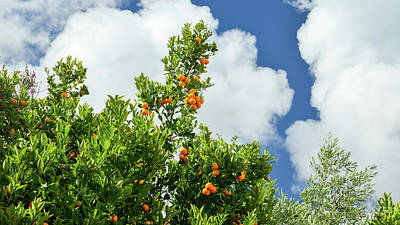 Photograph - Orange Tree  by Alexandre Rotenberg