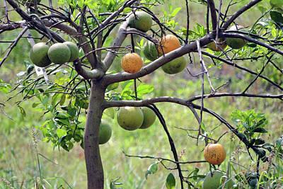 Photograph - Orange Tree by Grace Dillon
