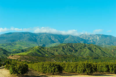 Orange Tree Grove, Santa Paula, Ventura Print by Panoramic Images