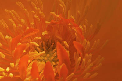 Photograph - Orange Trollius Stamen Macro by Sandra Foster