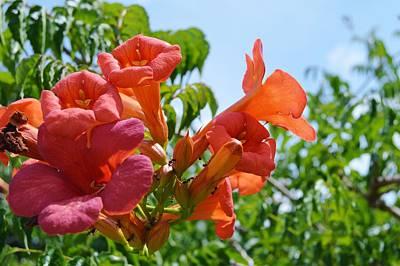 Flowers Photograph - Orange Trumpet Vines 2  by Warren Thompson
