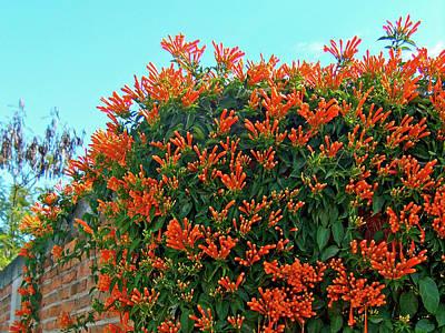 Photograph - Orange Trumpeter Vine In El Fuerte In Sinaloa, Mexico by Ruth Hager