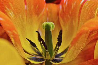 Photograph - Orange Tulip - Macro by Jill Smith