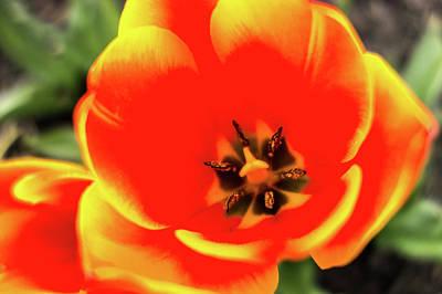 Olympic Sports - Orange Tulip Flowers In Spring Garden by Alex Grichenko