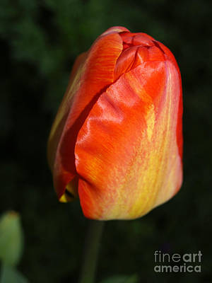 Photograph - Orange Tulip by Haleh Mahbod