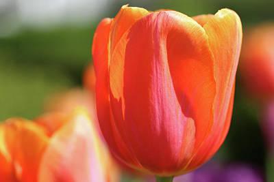 Photograph - Orange Tulip In Garden by Karen Adams