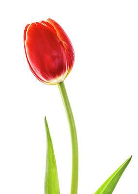 Photograph - Orange Tulip Isolated On White by Vishwanath Bhat