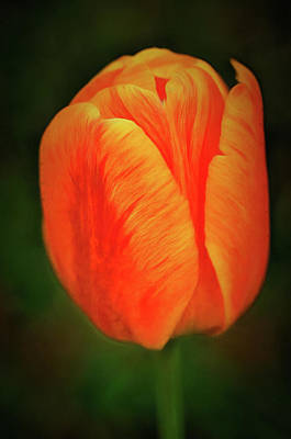 Art Print featuring the photograph Orange Tulip Painting Neo Rembrandt Style by Matthias Hauser