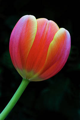 Photograph - Orange Tulip by Windy Osborn