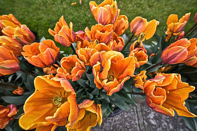 Photograph - Orange Tulips In Bloom by Steven Lapkin