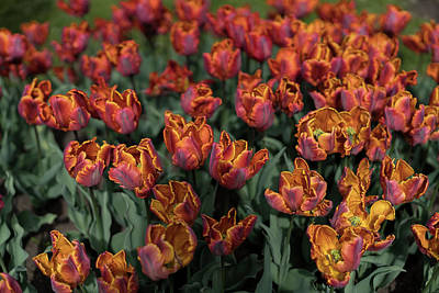 Photograph - Orange Tulips On The Field by Radoslav Nedelchev