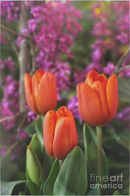 Photograph - Orange Tulips by Sandy Moulder