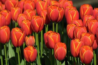 Photograph - Orange Tulips With Yellow Trim by Tom Cochran