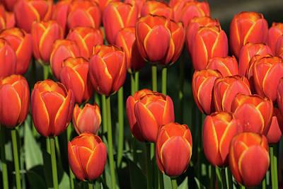 Photograph - Orange Tulips With Yellow Trim by Tom Cochran