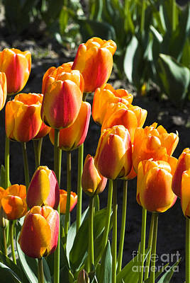 Photograph - Orange Tulips by Yulia Kazansky