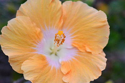 Moody Trees - Orange White Hibiscus 1 by Amy Fose