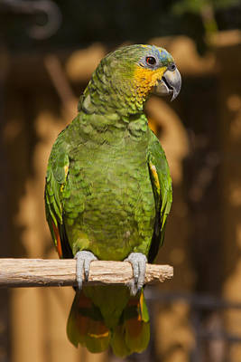 Orange-winged Amazon Parrot Print by Adam Romanowicz