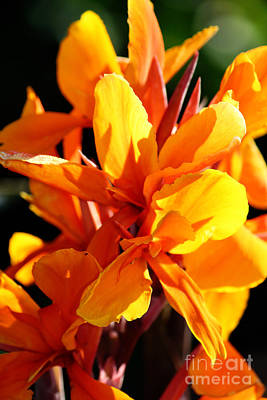 Photograph - Orange-yellow Canna Flowers by Jackie Farnsworth